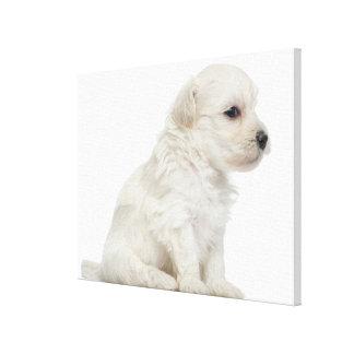 Petit chien lion or Little Lion Dog puppy Canvas Print