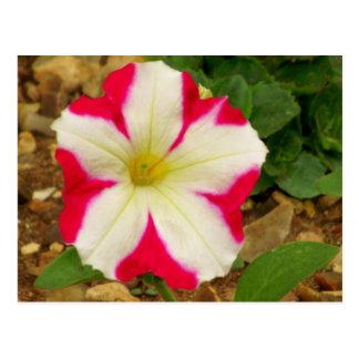 Petunia Postcard