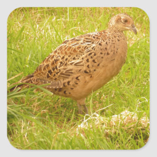 Pheasant Sticker