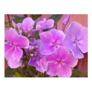 Phlox Floral Postcard