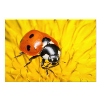 Photo of a red ladybug on yellow dandelion blossom