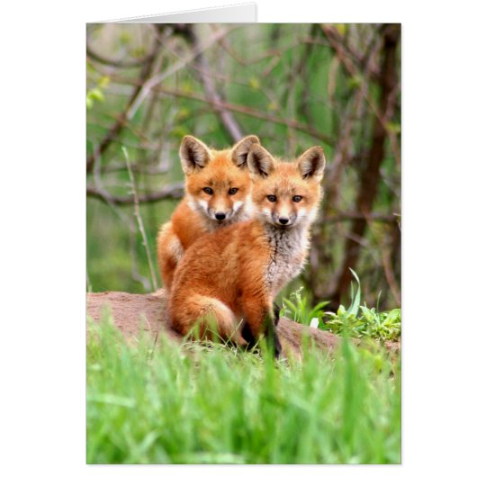 Photo of adorable red fox kits sitting together