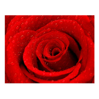 Photo of Red Rose Background Postcard