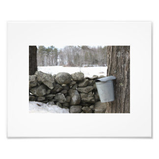 Photo showing maple sap gathering in the spring
