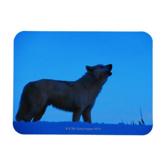 Photo, white wolf howling at night, Color, High Rectangular Magnet