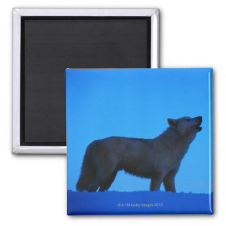Photo, white wolf howling at night, Color, High Square Magnet