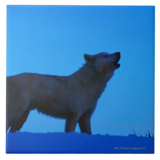Photo, white wolf howling at night, Color, High Tile