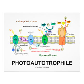 Photoautotrophile Photosynthesis Flyer