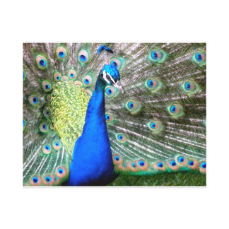 Photograph of Wild Peacock Stretched Canvas Prints