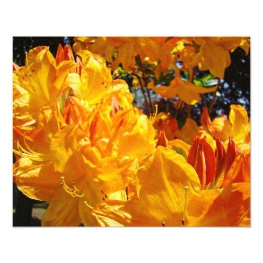 Photographic Art Prints Orange Rhodies Flowers Art Photo