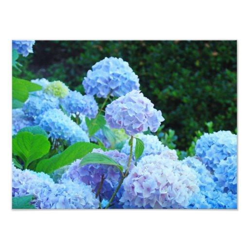 Photographic Canvas Prints Blue Hydrangea Flowers Photographic Print