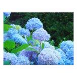 Photographic Canvas Prints Blue Hydrangea Flowers Photograph