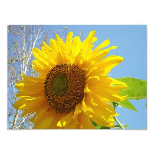 Photographic Floral prints Sunflowers Blue Sky Photo