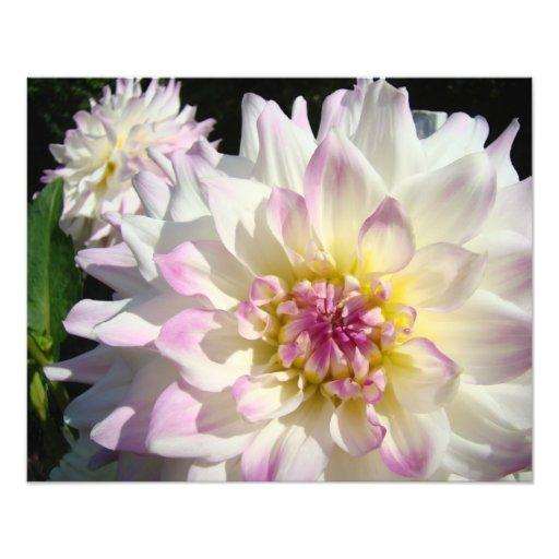 Photographic Nature art prints White Dahlias Pink Art Photo