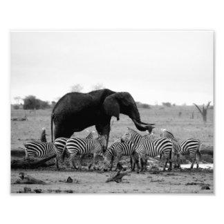 Photographic Print Elephant & Zebras