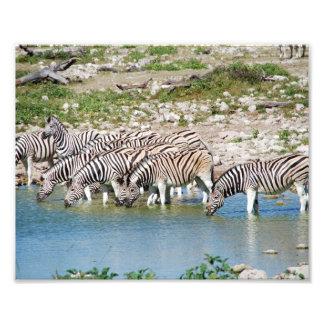 Photographic Print Zebras