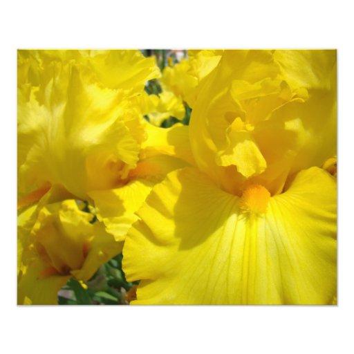 Photography Art Prints Yellow Iris Flowers Irises Art Photo