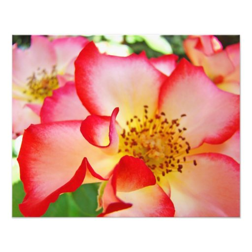 Photography Fine Art Red White Rose Flowers Photo