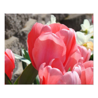 Photography Floral Art Prints Pink Tulip Flowers Photo Print