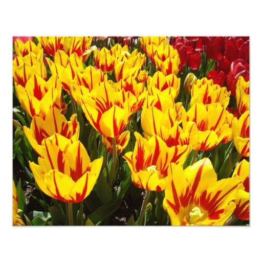 Photography prints Sring Tulip Flowers Festival Photo Art