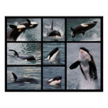 Photos multiple of killer whales poster