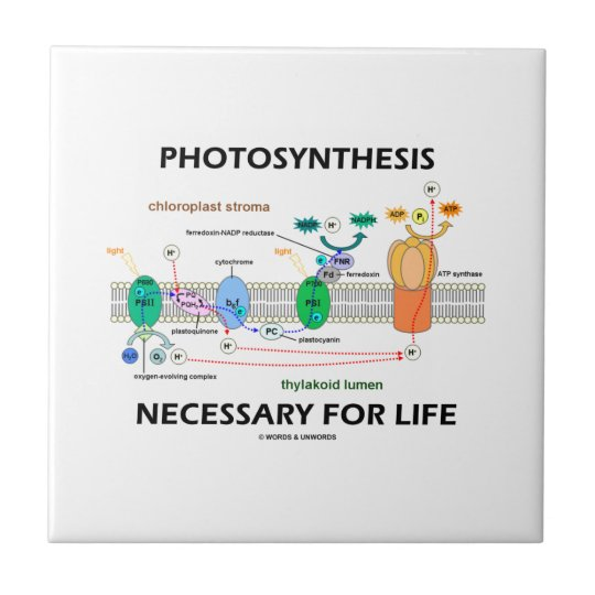 Photosynthesis Necessary For Life Light-Dependant Small Square Tile