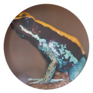 Phyllobates vittatus, a poison arrow frog dinner plate