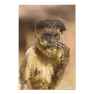 Piaui, Brazil, Brown Capuchin, Cebus apella, Art Photo