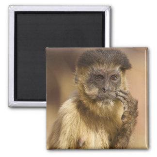 Piaui, Brazil, Brown Capuchin, Cebus apella, Magnet