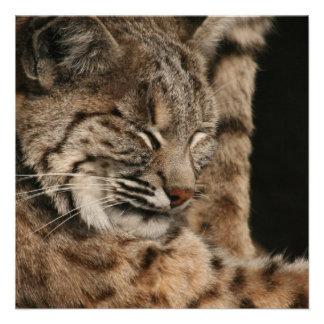 Picture of a Bobcat Invitation