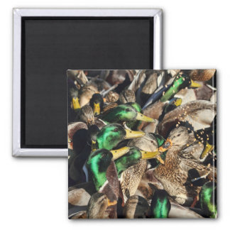 Picture of Ducks in a Crowd Refrigerator Magnet