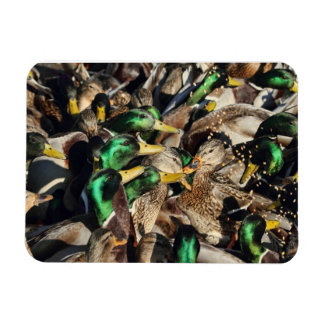 Picture of Ducks in a Crowd Magnets