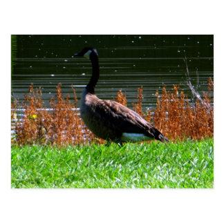 Picturesque Canada Goose Pose Postcards