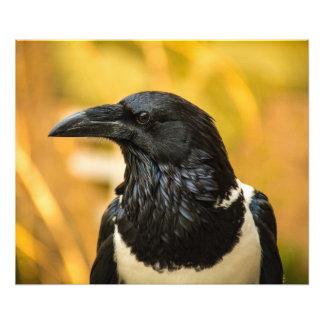 Pied Crow 24x20 Kodak Professional Photo  (Satin)