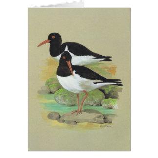 Pied Oystercatcher - Haematopus ostralegus Card