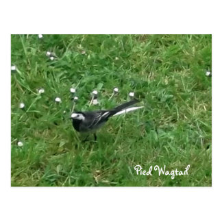 Pied Wagtail Postcard