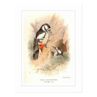 Pied Woodpecker Postcard