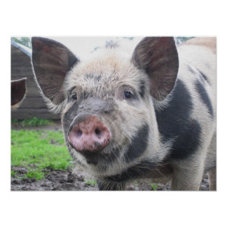 Pig Face Print