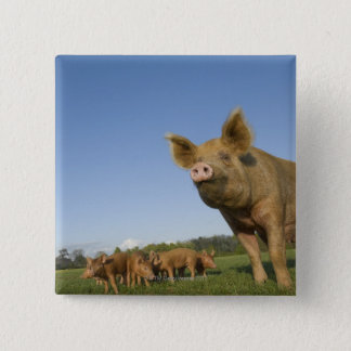 Pig in a Field 15 Cm Square Badge