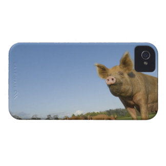 Pig in a Field iPhone 4 Cases