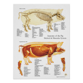 Pig Muscle & Skeletal Anatomy Poster Chart