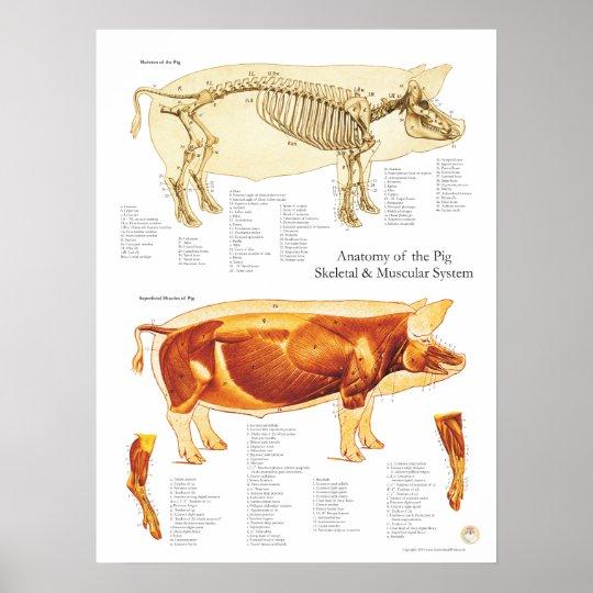 Pig Muscle & Skeletal Anatomy Poster Chart
