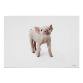 Pig Standing Looking Up Poster