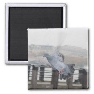 Pigeon flying magnet