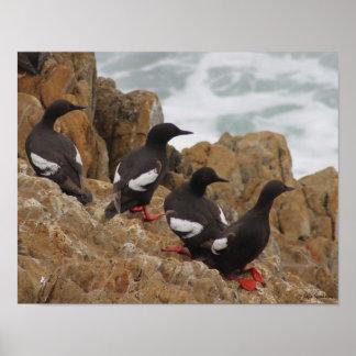 Pigeon Guillemots 14x11 Semi-Gloss Poster Print