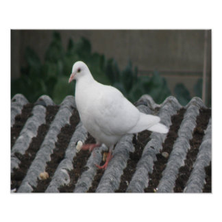 Pigeon Toed - White Pigeon Print