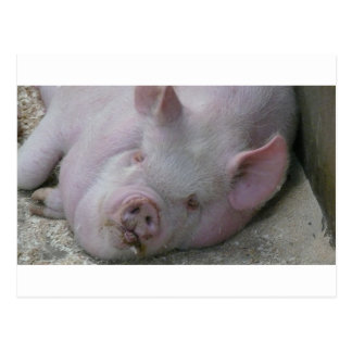 Piggy Dreams Postcard