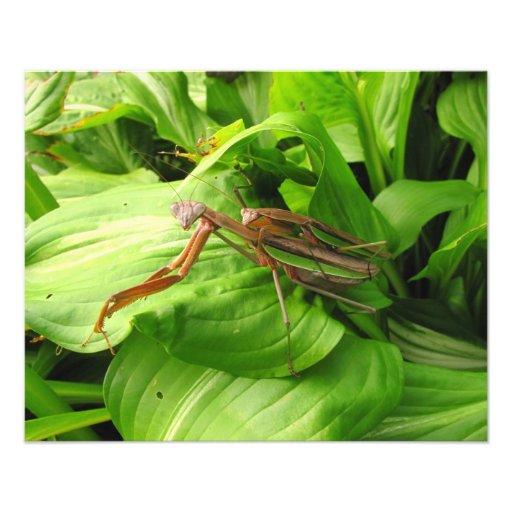 Piggyback Mantis ~ Photo