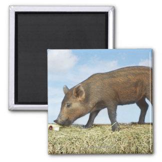 Piglet Eating Square Magnet