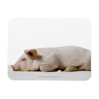 Piglet Lying Down Profile Rectangular Photo Magnet